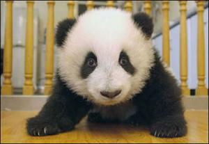 Panda17_m
